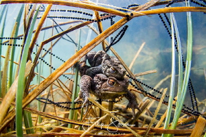 Mating toads, Turnhout, Belgium by Filip Staes
