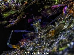 Neon shrimp by Carsten Schroeder