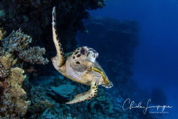 Tortue imbriquée Hurghada ! by Claude Lespagne