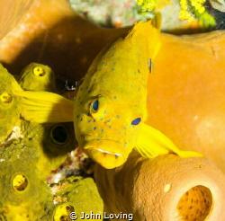 Golden phase coney on Little cayman, by John Loving