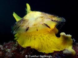 Tylodina perversa Yellow by Cumhur Gedikoglu