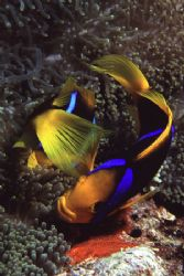 Pair of Clark's Anemonefish tend to their eggs. I spent a... by Richard Smith