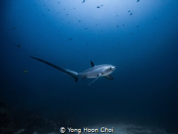 This rare and majestic thresher shark is only seen at Mon... by Yong Hoon Choi