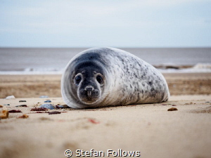 TGIF!  Grey Seal (pup) - Halichoerus grypus  Horsey, ... by Stefan Follows