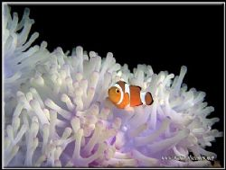 Juvenile clown fish on a white anemone photographed with ... by Yves Antoniazzo