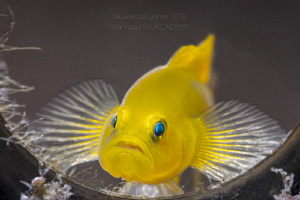 Lubricogobius exiguus - Yellow Pygmy Goby - Life in a Bottle by Wayne Jones