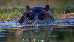 Hippo in the Okavango Delta by John Loving