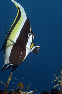 Moorish Idol by Suzan Meldonian