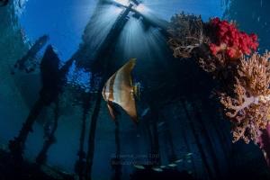 Batfish with Sunburst by Wayne Jones