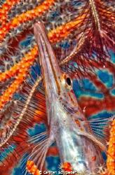 Longnose Hawk Fish by Carsten Schroeder