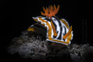 "Chromodoris magnifica - ""In Retra Light"" by Wayne Jones"
