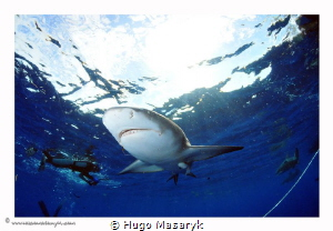 Sharks at Jupiter, Florida by Hugo Masaryk