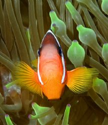 One of Fiji's Anemonefish. Nikon D100 with 60mm lens. by Jim Chambers