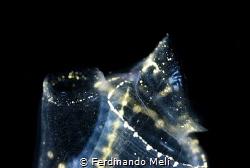 Micro architectural of ascidia (Clavelina sp.) by Ferdinando Meli