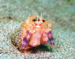 Hermit crab (Pagurus prideaux) with Cloak anemone (Adamsi... by Gary Carpenter