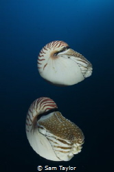 Nautilus Pompilus. Nikonos 5, 15mm lens by Sam Taylor