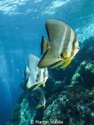 3 Juvenile batfish at Sail Rock , Thailand by Marcel Waldis
