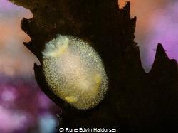 Onchidoris muricata posing on a bladderwrack by Rune Edvin Haldorsen