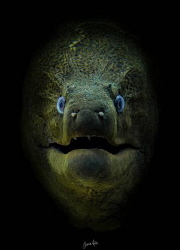 Who watches the watchers. Giant Moray Eel, Ras Mohammed N... by Jamie Hall