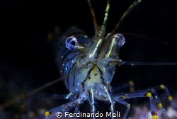 Temerary shrimp