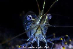 Temerary shrimp (Palaemon serratus) by Ferdinando Meli