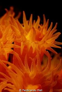 Underwater flames (Astroides calycularis madrepora) by Ferdinando Meli