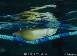 Silver Arowana. by Eduard Bello