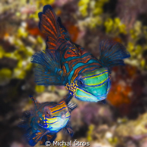 Mandarinfishes at the reef by Michal Štros