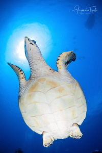 Turtle with divers, San Pedro, Belize by Alejandro Topete