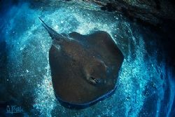 STINGRAY. A different view from a common animal. I hope y... by Arthur Telle Thiemann