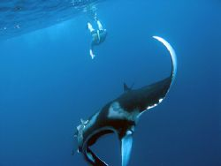 Who doesn't love swimming with mantas. by Tyania Diffin