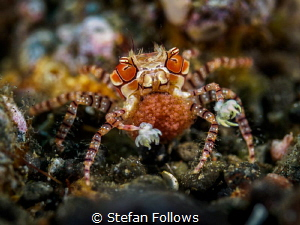 Next Generation  Pom Pom Crab - Lybia tessellata  Ame... by Stefan Follows