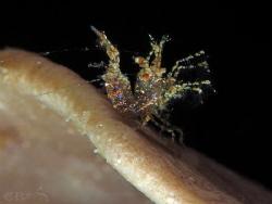 Neostylodactylus sp. (Inshore Hairy Shrimp) Romblon Phil... by Patrick Ess