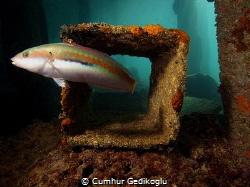 Symphodus melanocercus Peak performance buoyancy track by Cumhur Gedikoglu