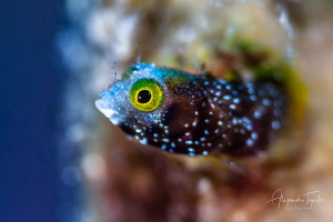 Blenny in home,Gardens of the Queen, Cuba by Alejandro Topete