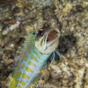Jawfish by Michal Štros