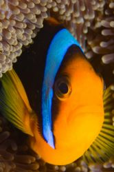 Clownfish in Palau, taken with 105 and Nikon d-70 by Tom Meyer