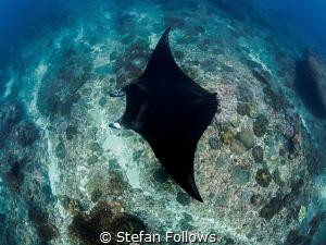 Stealth   Manta Ray - Manta alfredi  Manta Point, Bal... by Stefan Follows