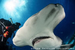Heads up in Bimini for Hammerheads!!!!! Every winter thes... by Steven Anderson