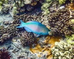 Parrotfish, Molokini Crater, Maui by Alison Ranheim