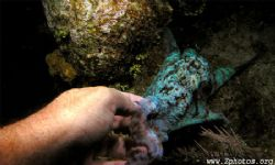 This reef octopus was very playful and decided to shaked ... by Zaid Fadul