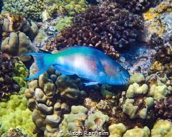 Parrotfish #2 Molokini Crater, Maui by Alison Ranheim