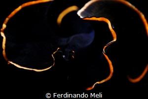 Underwater swimming worm (Prosthaceraeus splendidus) by Ferdinando Meli