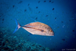 The boss of underwater - Jack Fish!  Blue fin trevally by Igor Tarasevich