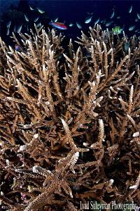 Healthy hard coral reef of Komodo by Iyad Suleyman