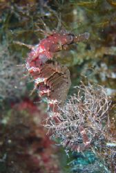 my favourite sea horse from the blue hole in Gozo by David Thompson
