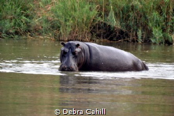 Hippo Kruger Park Africa by Debra Cahill
