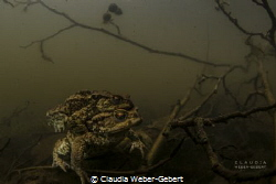 waiting for the perfect moment....  toads in a pond by Claudia Weber-Gebert