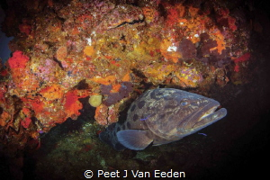 Potato Bass and cleaner wrasse by Peet J Van Eeden