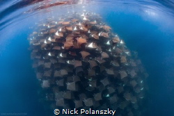 The Mobula Rays of the Sea of Cortez, Mexico by Nick Polanszky